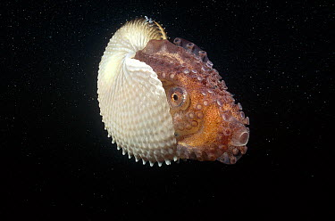 Paper Nautilus (Argonauta nodosa) is actually a pelagic Octopus, females make the parchment-like shell to carry incubating eggs, South Australia  -  Fred Bavendam