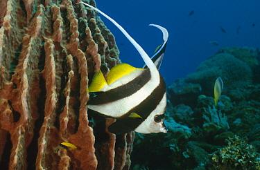 Longfin Bannerfish (Heniochus acuminatus) swimming along reef, Bali, Indonesia  -  Fred Bavendam