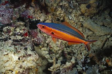 Bluestreak Fusilier (Pterocaesio tile) with nocturnal coloration, Manado, Sulawesi, Indonesia  -  Fred Bavendam