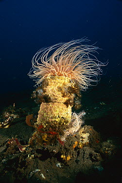 Tube-dwelling Anemone (Cerianthus sp) with Feather Duster Worms (Sabellastarte sp), Bali, Indonesia  -  Fred Bavendam