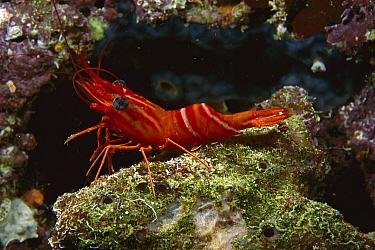 Hingebeak Shrimp (Rhynchocinetes durbanensis), Manado, Sulawesi, Indonesia  -  Fred Bavendam