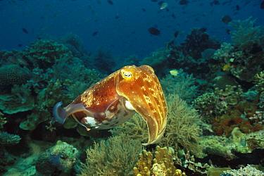 Broadclub Cuttlefish (Sepia latimanus) in coral reef, Manado, Sulawesi, Indonesia  -  Fred Bavendam