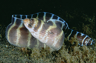 Barred Moray Eel (Echidna polyzona) portrait, Lembeh Strait, Indonesia  -  Fred Bavendam