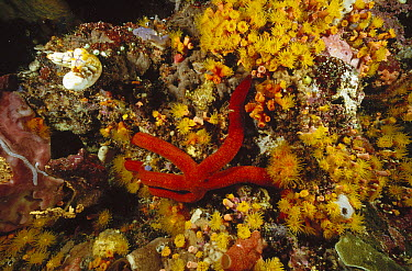 Sea Star (Leiaster sp) crawling among Stony Coral (Tubastraea sp) on a reef wall, Manado, North Sulawesi, Indonesia  -  Fred Bavendam