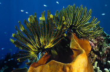Feather Star (Oxycomanthus bennetti) group clinging to the lip of a large sponge, Manado, North Sulawesi, Indonesia  -  Fred Bavendam