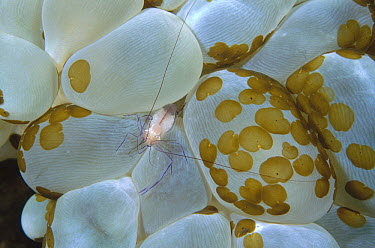Coral Shrimp (Vir philippinensis) living on Rounded Bubblegum Coral (Plerogyra sinuosa) green spots are Acoelous Flatworms, Manado, North Sulawesi, Indonesia  -  Fred Bavendam