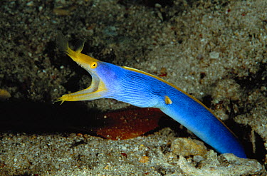 Ribbon Eel (Rhinomuraena quaesita) emerging from burrow, Manado, North Sulawesi, Indonesia  -  Fred Bavendam