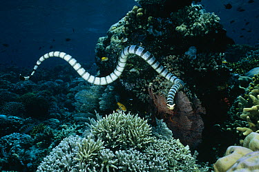 Banded Sea Krait (Laticauda colubrina) hunting for small fish on the reef, Manado, North Sulawesi, Indonesia  -  Fred Bavendam