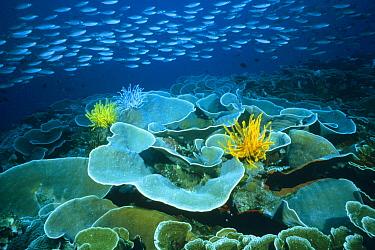 Fusilier (Caesio sp) school streaming over a vast field of Disc Coral (Turbinaria reniformis), Manado, Sulawesi, Indonesia  -  Fred Bavendam