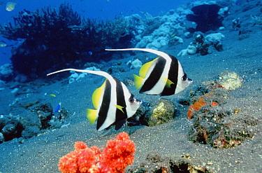 Longfin Bannerfish (Heniochus acuminatus) pair, Bali, Indonesia  -  Fred Bavendam