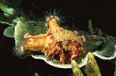 Anemone Hermit Crab (Dardanus pedunculatus) with Sea Anemones on its shell, Manado, North Sulawesi, Indonesia  -  Fred Bavendam