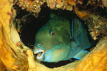 Steephead Parrotfish (Scarus microrhinos) portrait, Manado, North Sulawesi, Indonesia  -  Fred Bavendam