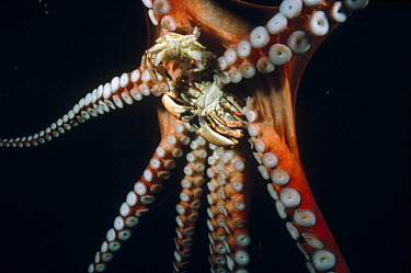 Pacific Giant Octopus (Enteroctopus dofleini) using its suction discs to hold two crabs it has caught, Quadra Island, British Columbia, Canada  -  Fred Bavendam