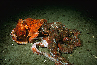 Pacific Giant Octopus (Enteroctopus dofleini) couple mating, smaller red male on top of a much larger grey female, Quadra Island, British Columbia, Canada  -  Fred Bavendam