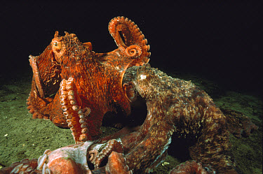 Pacific Giant Octopus (Enteroctopus dofleini) couple mating, a smaller red male on top of a much larger grey female, Quadra Island, British Columbia, Canada  -  Fred Bavendam