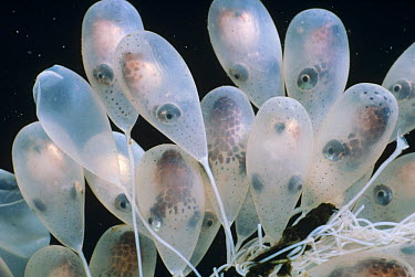 Pacific Giant Octopus (Enteroctopus dofleini) eggs, Victoria, British Columbia, Canada  -  Fred Bavendam