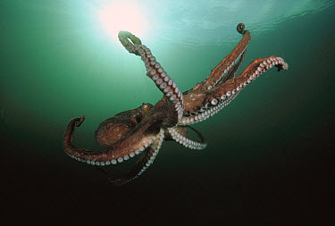 Pacific Giant Octopus (Enteroctopus dofleini) flaring out its arms as it prepares to drop to the ocean bottom after swimming, Quadra Island, British Columbia, Canada  -  Fred Bavendam