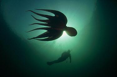 Pacific Giant Octopus (Enteroctopus dofleini) swimming with diver, Quadra Island, British Columbia, Canada  -  Fred Bavendam