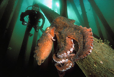 Pacific Giant Octopus (Enteroctopus dofleini) that is sitting upon the pilings of a dock with diver, Campbell River, British Columbia, Canada  -  Fred Bavendam
