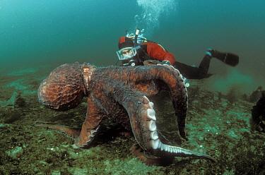 Pacific Giant Octopus (Enteroctopus dofleini) and diver, Quadra Island, British Columbia, Canada  -  Fred Bavendam