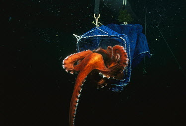 Pacific Giant Octopus (Enteroctopus dofleini) eight kilograms with four foot arm span, squeezing, out through a hole 50 millimeters x 100 millimeters, Quadra Island, British Columbia, Canada  -  Fred Bavendam