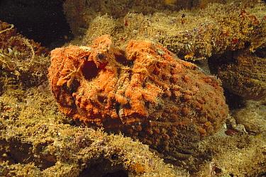 Esturine Stonefish (Synanceia horrida) camouflaged on rocks, Exmouth, Australia  -  Fred Bavendam