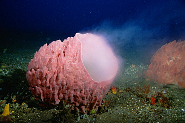 Giant Barrel Sponge (Xestospongia testudinaria) spawning, Bali, Indonesia