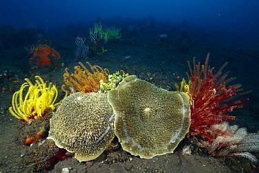 Giant Cup Mushroom Coral (Amplexidiscus fenestrafer) pair among crinoids, Bali, Indonesia  -  Fred Bavendam
