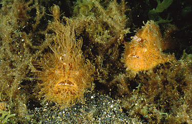 Striated Frogfish (Antennarius striatus) pair sitting in a clump of algae which helps conceal their presence from prey, Lembeh Strait, Indonesia  -  Fred Bavendam