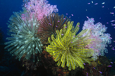 Feather Star (Comanthina nobilis) and (Oxycomanthus bennetti) and Soft Coral (Dendronephthya sp)  -  Fred Bavendam