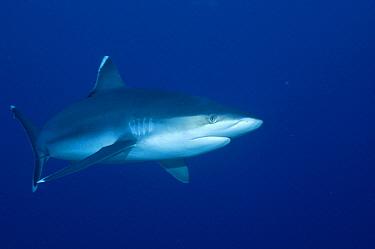 Silver-tip Shark (Carcharhinus albimarginatus) underwater portrait, Andaman Sea, Burma  -  Fred Bavendam