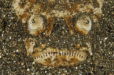 Whitemargin Stargazer (Uranoscopus sulphureus) lying buried in sand where it waits to ambush prey, Lembeh Strait, Indonesia  -  Fred Bavendam