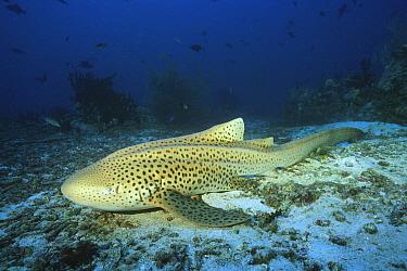 Zebra Shark (Stegostoma fasciatum), Andaman Sea, Thailand  -  Fred Bavendam