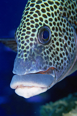 Spotted Sweetlips (Plectorhinchus picus), Loloata Resort, Papua New Guinea  -  Fred Bavendam
