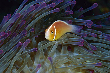 Pink Anemonefish (Amphiprion perideraion) in anemone tentacles, Loloata Resort, Papua New Guinea  -  Fred Bavendam