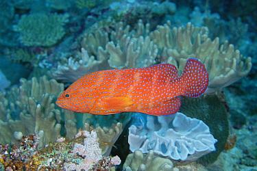 Coral Grouper (Cephalopholis miniata), Loloata Resort, Papua New Guinea  -  Fred Bavendam