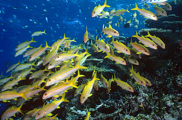 Yellowfin Goatfish (Mulloides vanicolensis) often gather in large schools during the day but disperse at night to feed, Great Barrier Reef, Queensland, Australia  -  Fred Bavendam
