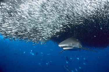Grey Reef Shark (Carcharhinus amblyrhynchos) feeding on a large baitfish ball, Solomon Islands  -  Fred Bavendam