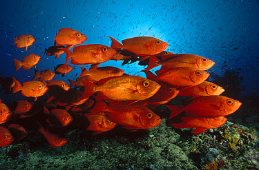 Crescent-tail Bigeye (Priacanthus hamrur), Lizard Island, Great Barrier Reef, Queensland, Australia  -  Fred Bavendam