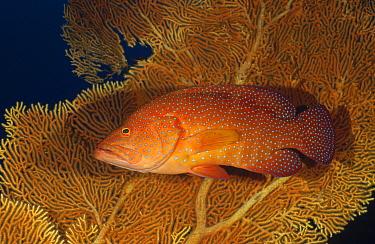 Coral Grouper (Cephalopholis miniata), Andaman Sea, Thailand  -  Fred Bavendam