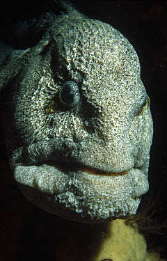 Wolf Eel (Anarrhichthys ocellatus) close up, head shot, Quadra Island, British Columbia, Canada  -  Fred Bavendam