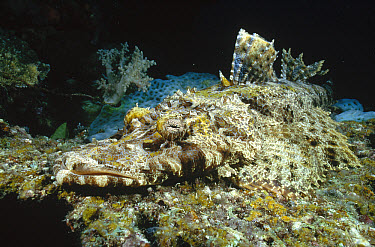 Beaufort's Crocodilefish (Cymbacephalus beauforti) camouflaged on ocean floor waiting for prey, Milne Bay, Papua New Guinea  -  Fred Bavendam