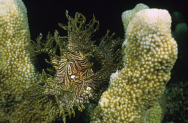 Merlet's Scorpionfish (Rhinopias aphanes) mimicking a Crinoid as it lays in wait for prey, Milne Bay, Papua New Guinea  -  Fred Bavendam