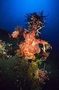 Soft Coral (Dendronephthya sp) outcroppings with a number of crinoids clinging to it, Bali, Indonesia  -  Fred Bavendam