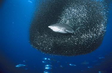 Grey Reef Shark (Carcharhinus amblyrhynchos) feeding on a large baitfish ball, Solomon Islands, South Pacific  -  Fred Bavendam