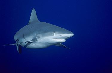 Grey Reef Shark (Carcharhinus amblyrhynchos) portrait, Nigali Passage, Fiji  -  Fred Bavendam