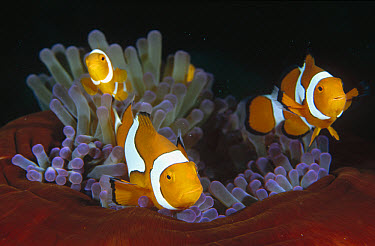 Blackfinned Clownfish (Amphiprion percula), Milne Bay, Papua New Guinea  -  Fred Bavendam