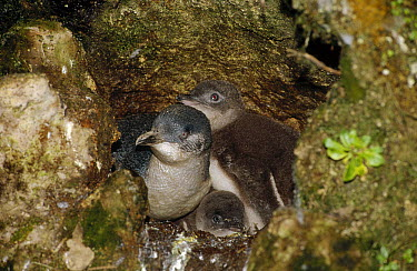 Little Blue Penguin (Eudyptula minor) adult and two chicks at their nest among rocks at the base of a cliff, Port Campbell, Victoria, Australia  -  Fred Bavendam