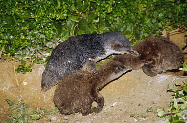 Little Blue Penguin (Eudyptula minor) two chicks and parents who have just arrived to feed them, Port Campbell, Victoria, Australia  -  Fred Bavendam