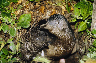 Little Blue Penguin (Eudyptula minor) two chicks waiting at burrow for parents to come feed them, Port Campbell, Victoria, Australia  -  Fred Bavendam